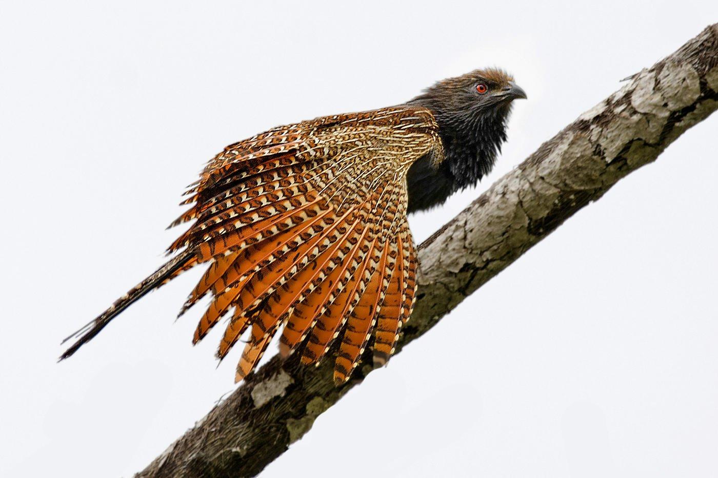 Cucal faisán (Pheasant Coucal) (Salvador Solé Soriano)