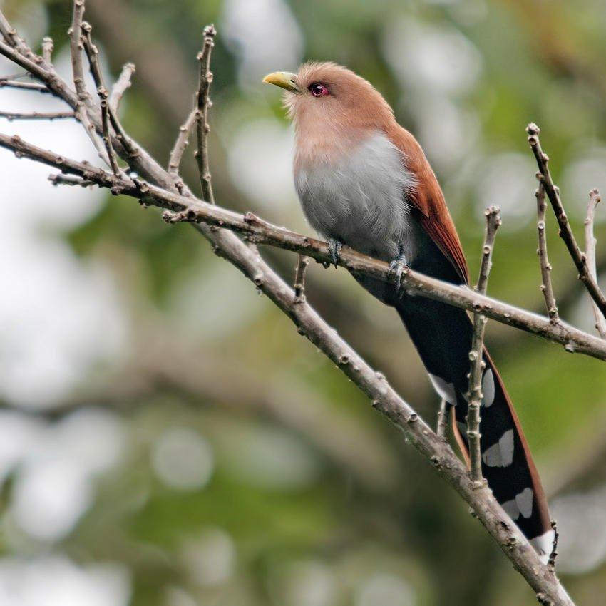 Cuco-ardilla común (Squirrel Cuckoo) (Salvador Solé Soriano)