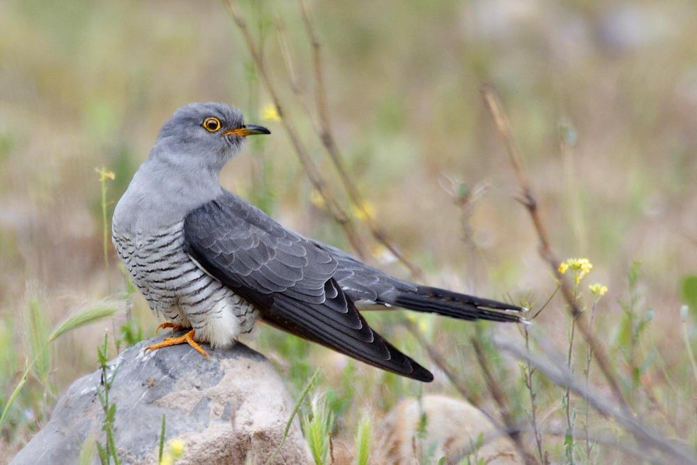 Cuco común (Common Cuckoo) (Salvador Solé Soriano)