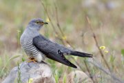 Cuco común (Common Cuckoo)