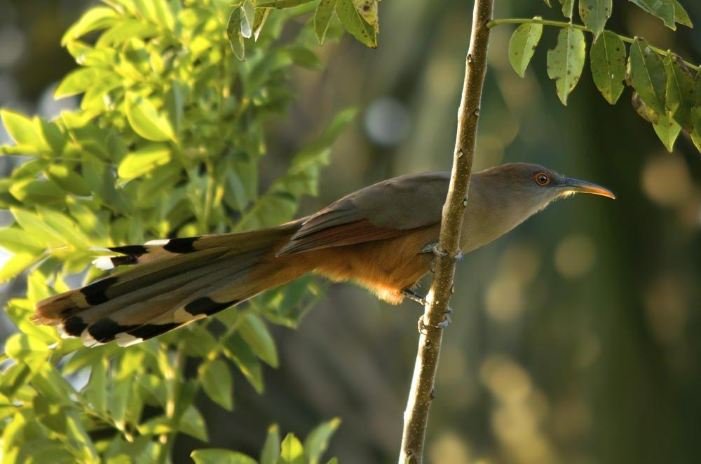 Cuco-lagartero cubano (Cuban Lizzard-cuckoo) (Salvador Solé Soriano)