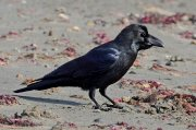 Cuervo picudo (Large-billed Crow)
