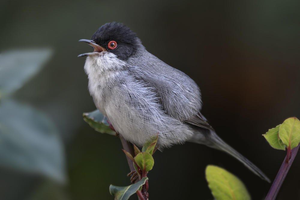 Curruca cabecinegra (Sardinian Warbler) (Salvador Solé Soriano)