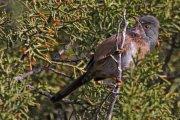 Curruca rabilarga (Dartford Warbler)