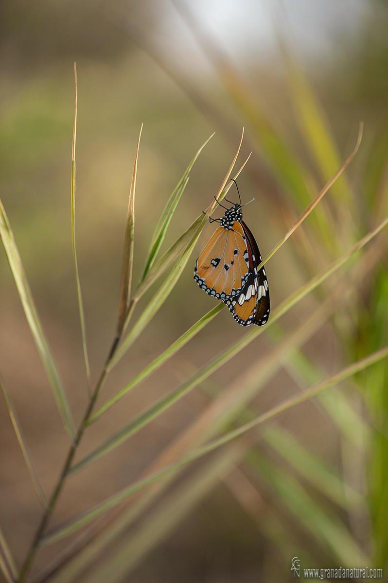 Danaus chrysippus ( Mariposa tigre) (Lucas Gutierrez Jiménez)