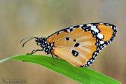 Danaus chryssipus(Mariposa tigre)