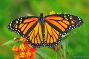 Danaus plexippus ( Mariposa Monarca)