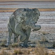 el baile fogoso del elefante