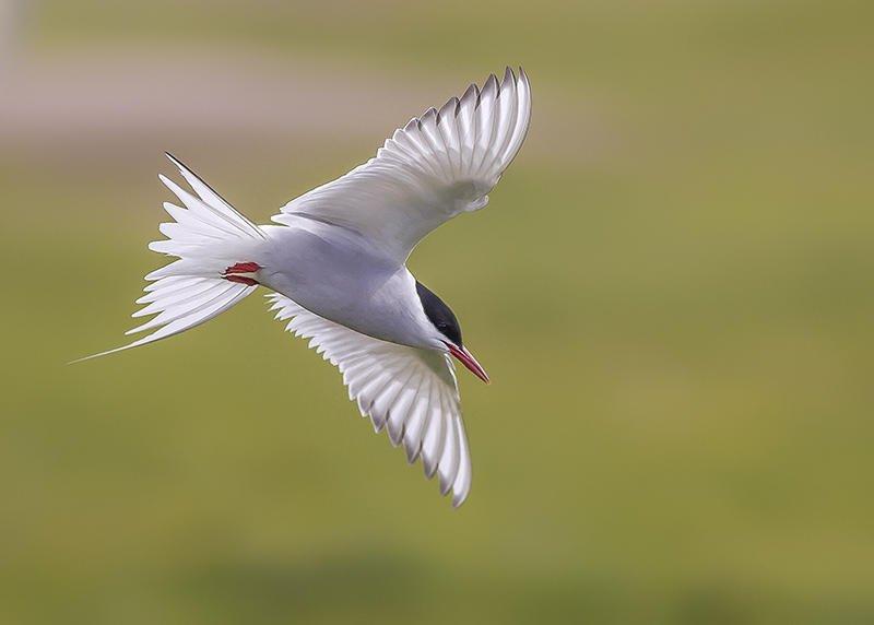 El charrán vuela sobre nuestras cabezas. Islandia 177 (david Pérez Hens)