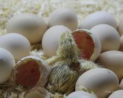 El Huevo y el pollito,