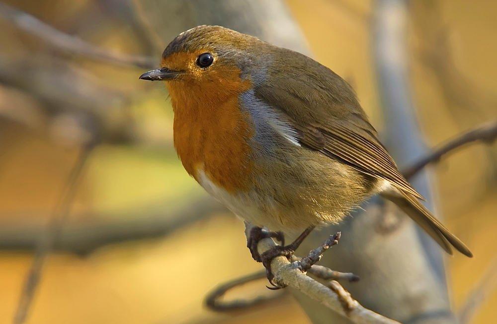 El Peti (European Robin) (Salvador Solé Soriano)