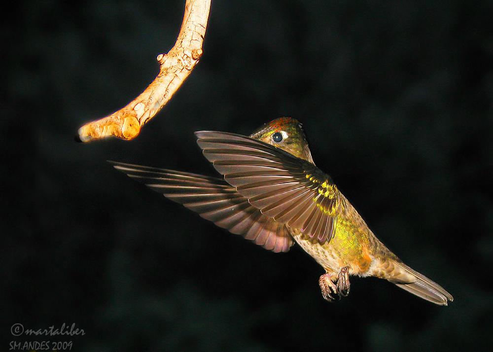El Picaflor y la rama (marta Liber)