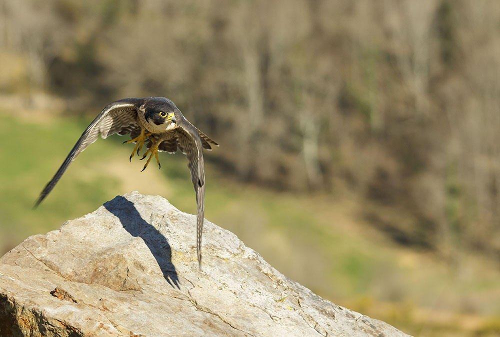 El vuelo del halcón. (Jesús Portal)