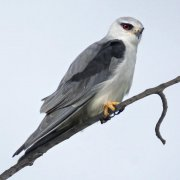 Elanio común (Black-winged Kite)