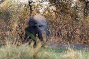 elefante empolvado II