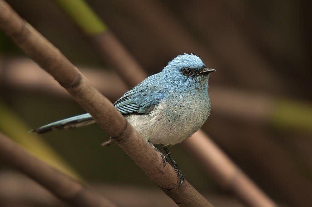 Elminia azul (Blue-crested Flycatcher) (Salvador Solé Soriano)