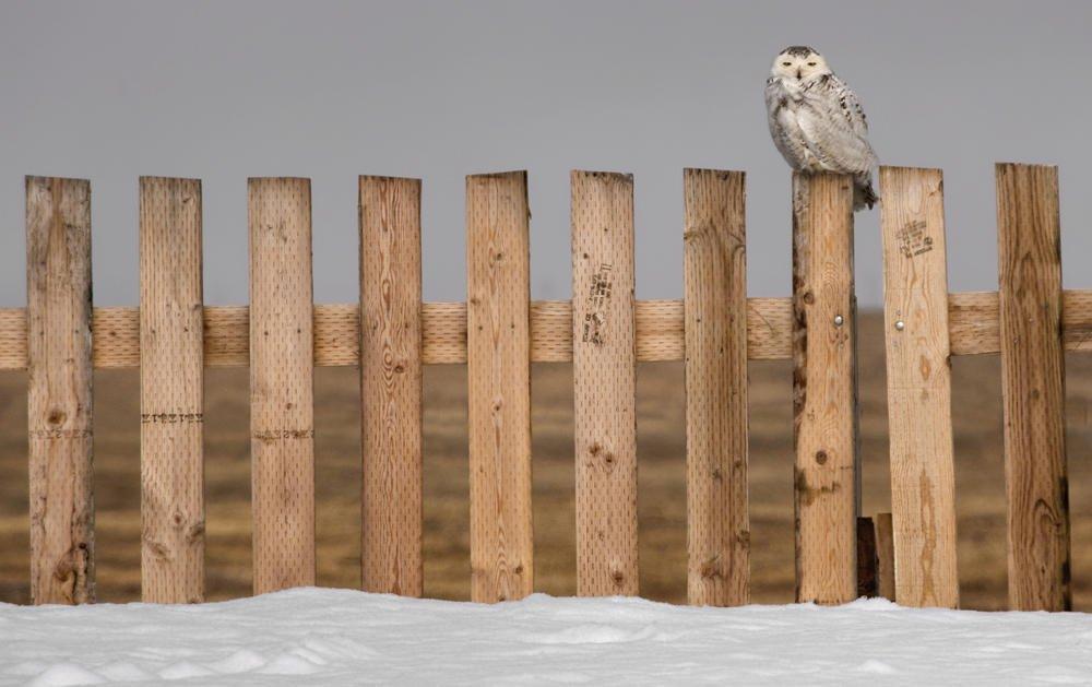 En el octavo poste (Snowy Owl) (Salvador Solé Soriano)