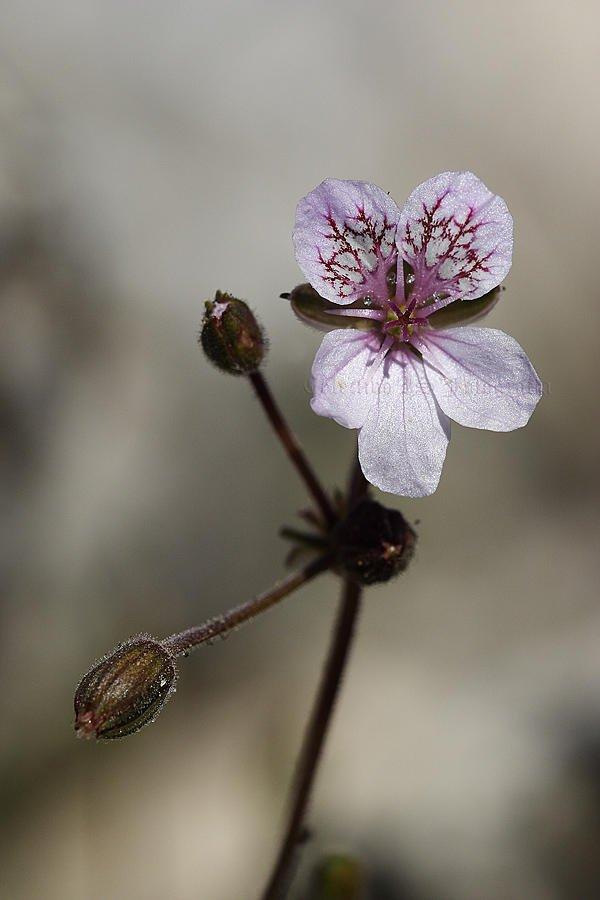 Erodium (Txema Bacaicoa (Colectivo IS))