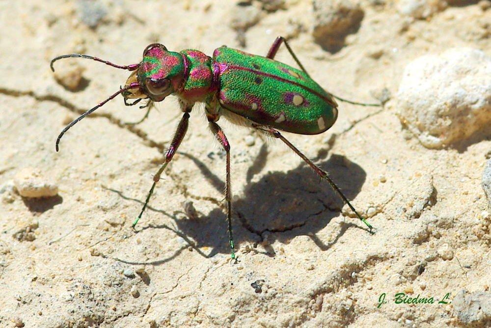 Escarabajo tigre (José Biedma López)