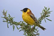 Escribano cabecinegro (Black-headed Bunting)