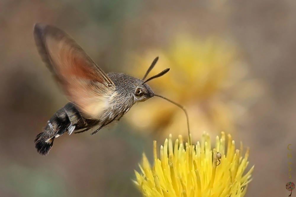 Esfinge colibrí (María Jesús López B.)
