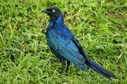 Estornino de Rüppell (Rüppell´s Glossy Starling)