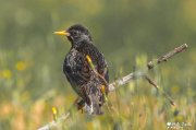 Estornino (Sturnus vulgaris)