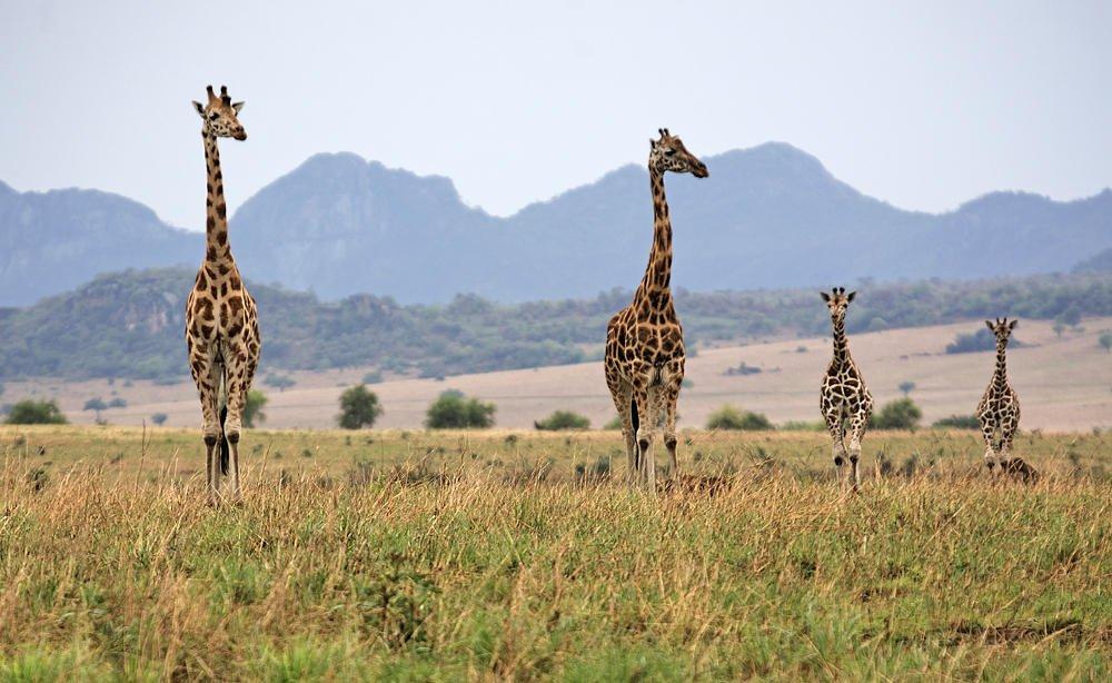 Familia de jirafas con paisaje (Salvador Solé Soriano)