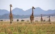 Familia de jirafas con paisaje