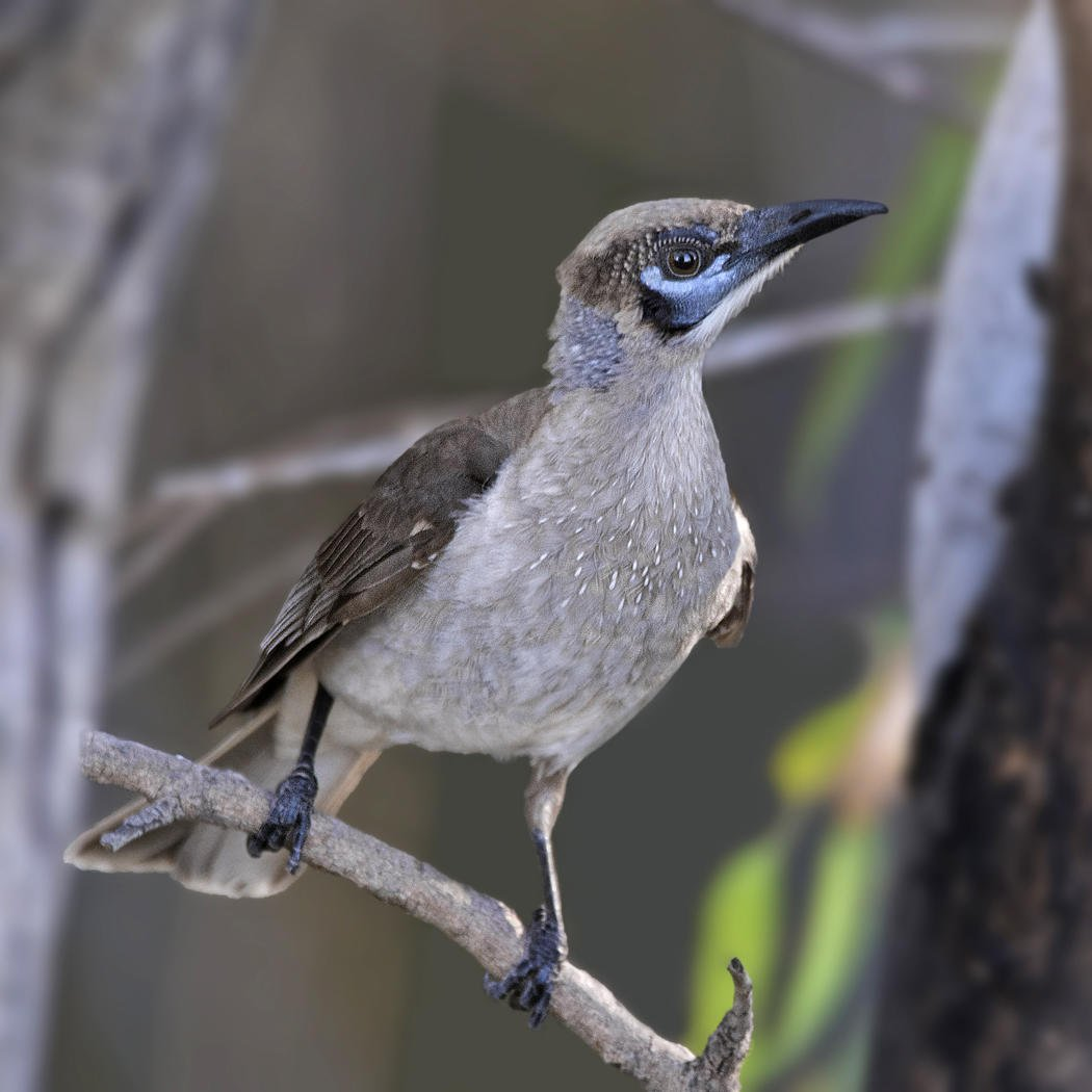 Filemón goligualdo (Little Friarbird) (Salvador Solé Soriano)