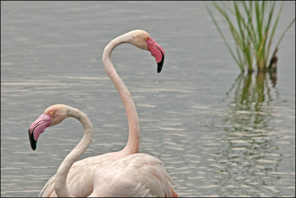 Flamenco común (Greater Flamingo) (Salvador Solé Soriano)