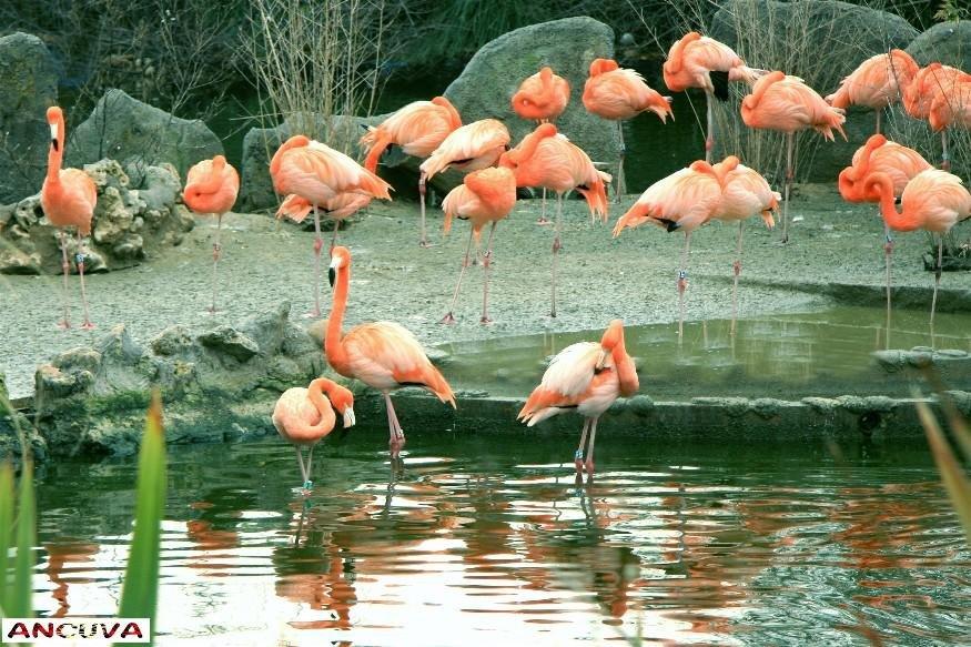 flamencos. (Antonio Cuenca.   vaya)