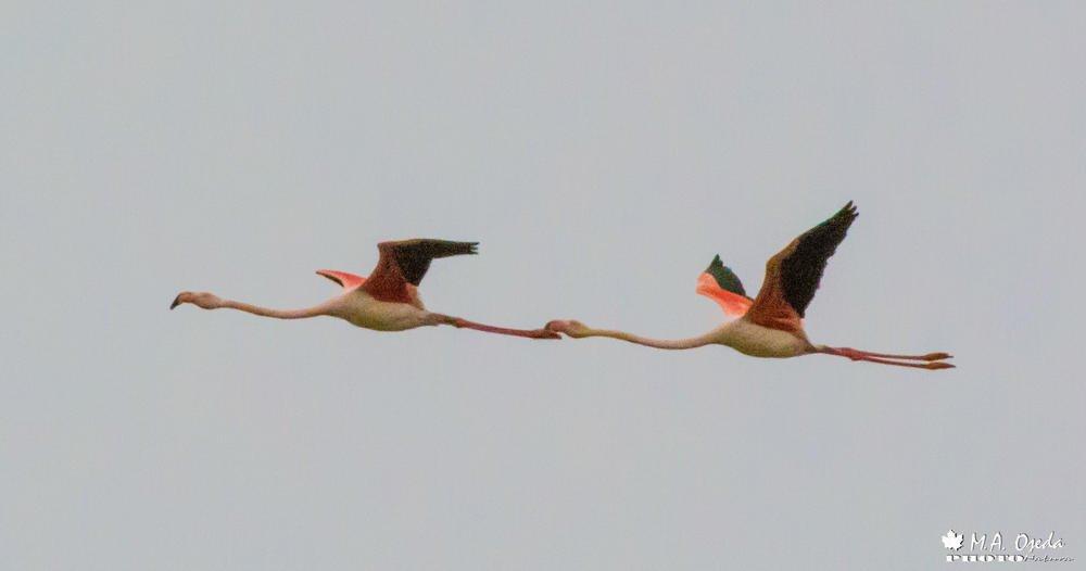 Flamencos en vuelo (Miguel Ojeda Usillos)