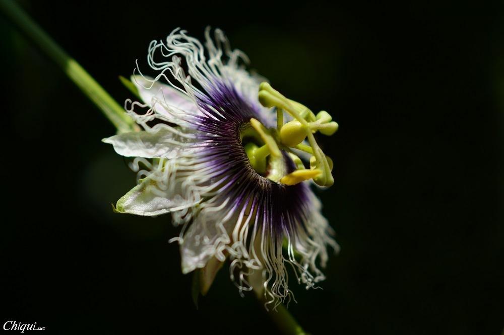 Flor  (Juan Mateos Castell)