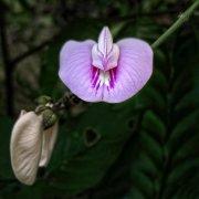 Flor cubana sp.