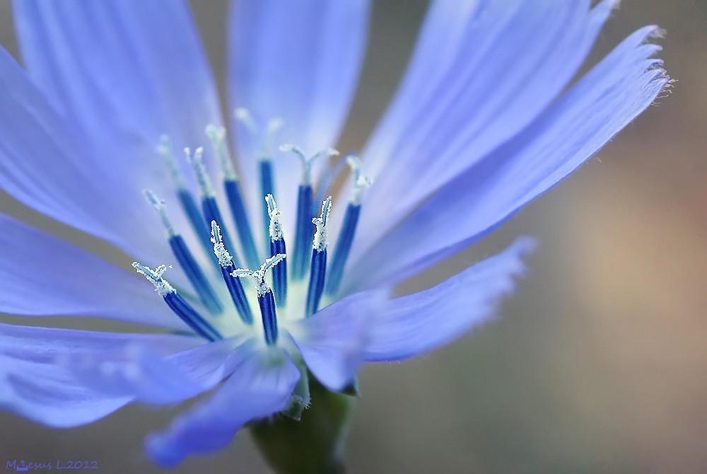 Flor de achicoria (María Jesús López B.)