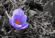 Flor de azafrán de otoño