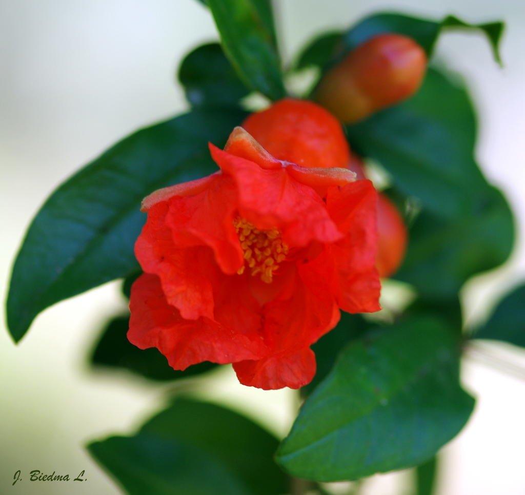 Flor de granado (José Biedma López)
