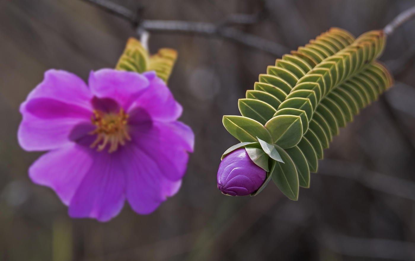Flor montana sp. (Salvador Solé Soriano)