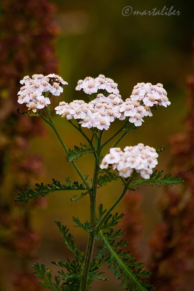 Flor silvestre (marta Liber)