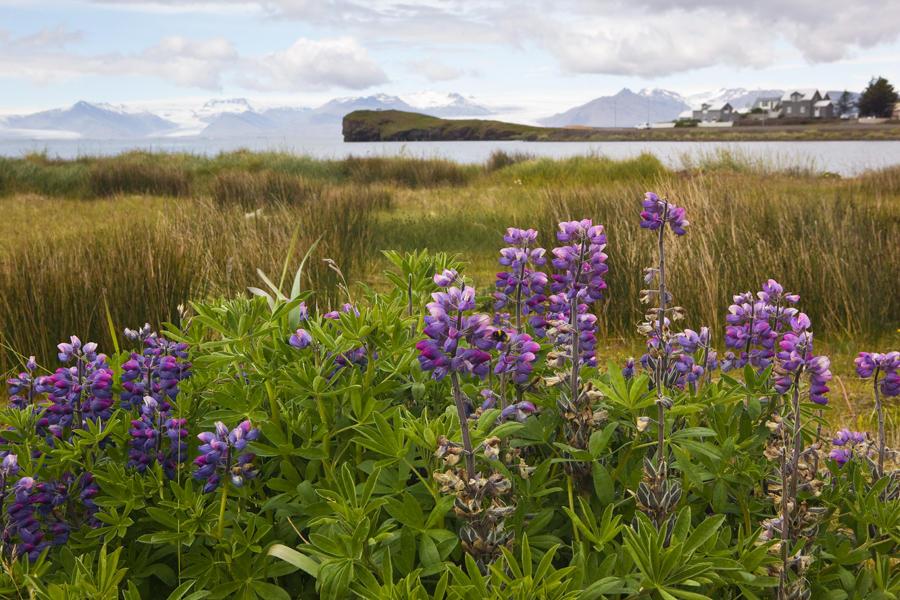 Floración en Islandia, Islandia 200 (david Pérez Hens)