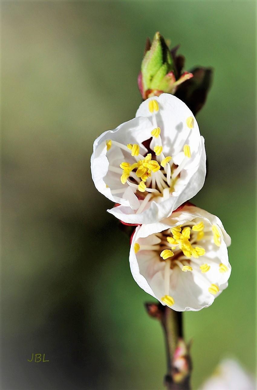Flores de membrillo (José Biedma López)