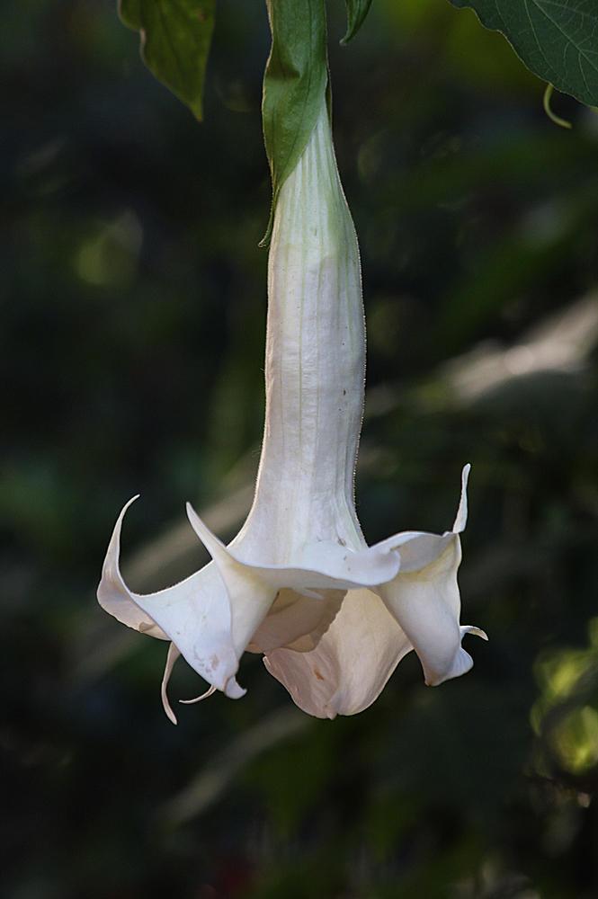 Floripondio (marta Liber)