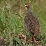 Francolín gorjirrojo (Red-necked Francolin)