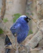 Frutero azul