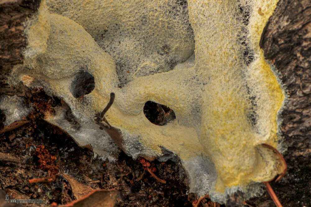 Fuligo septica ( Myxomycete)