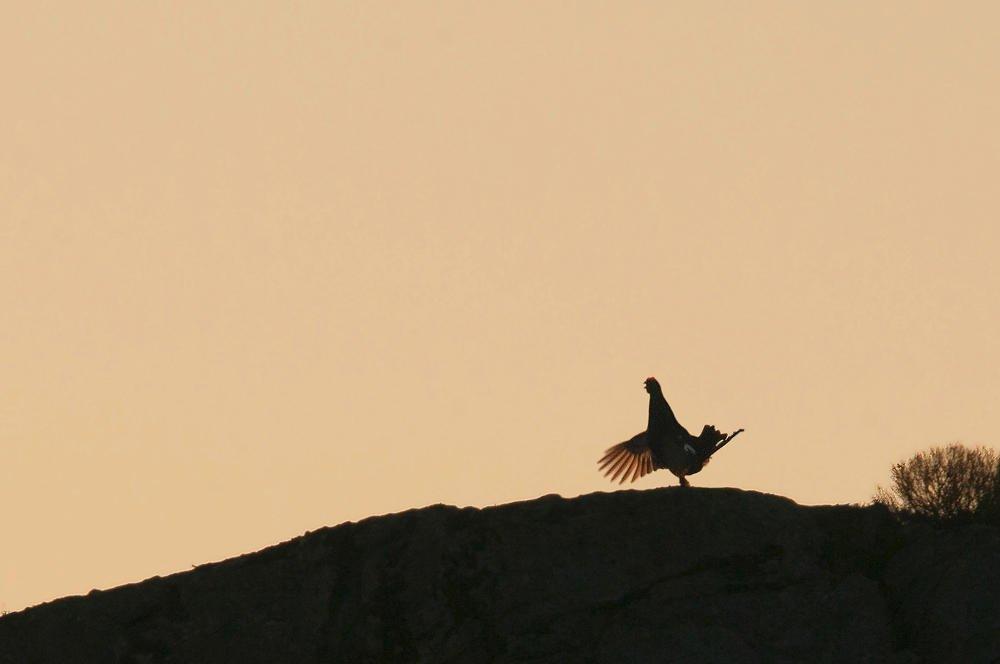 Gallo-lira común (Black Grouse) (Salvador Solé Soriano)