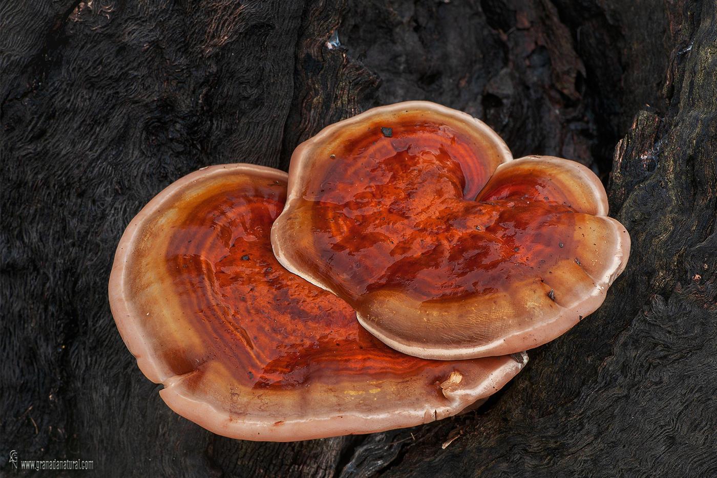 Ganoderma lucidum (