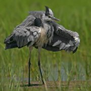 Garza real (Grey Heron)
