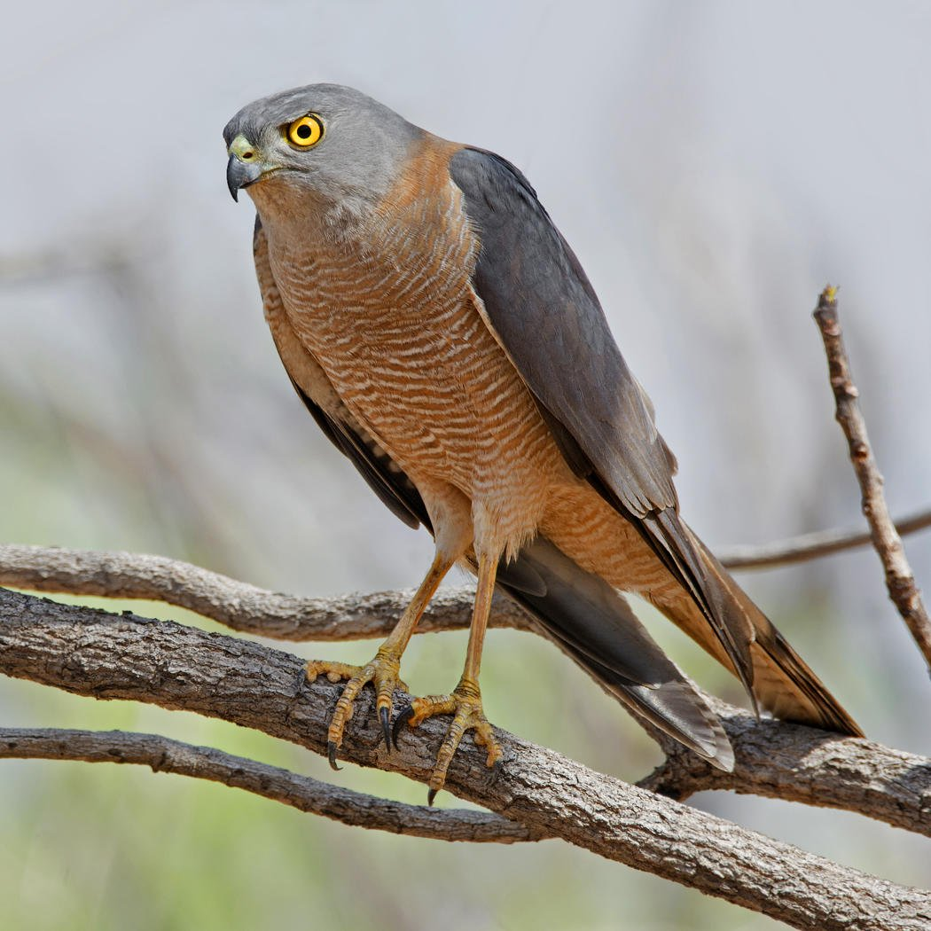 Gavilán acollarado (Collared Sparrowhawk) (Salvador Solé Soriano)